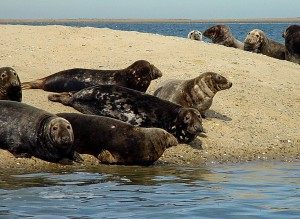 seal watch cape cod